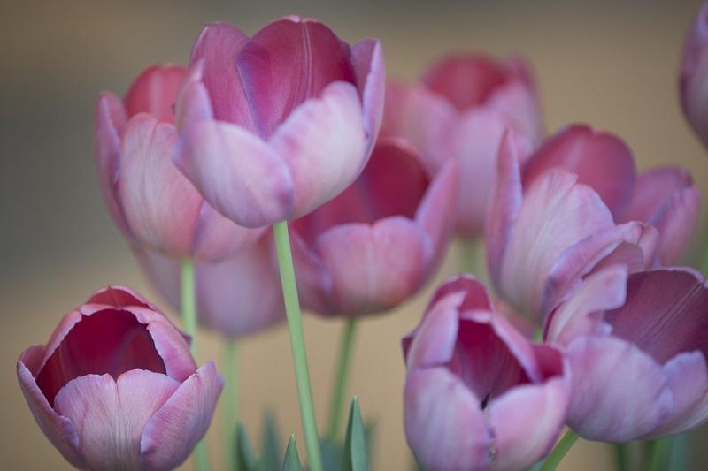 Выставка, экспозиция, «Цветов весны причудливые краски», Государственный музей-заповедник «Царицыно», нарциссы, мускари, тюльпаны, крокусы, экспонаты, цветение