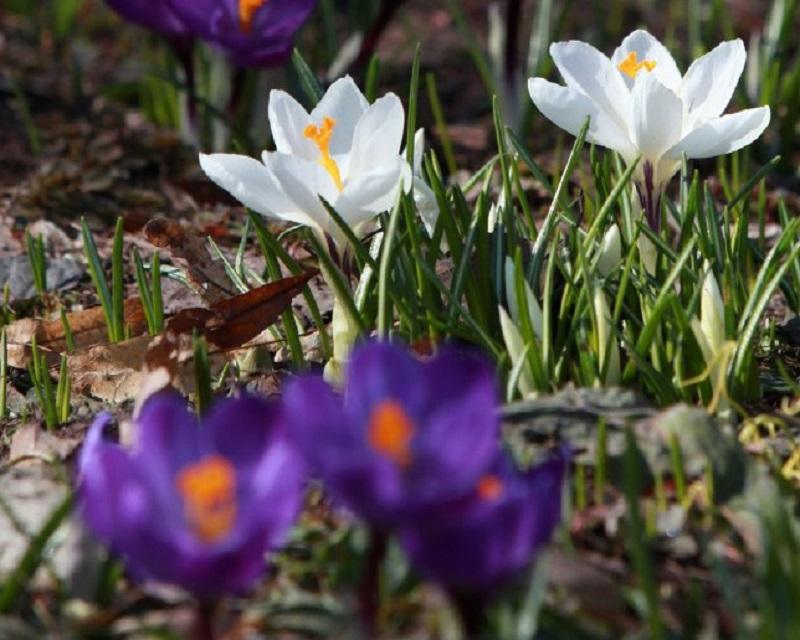 МГОМЗ «Коломенское», крокус, первоцветы