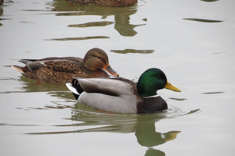 «Мосприрода», учет, подсчет, водоплавающие птицы, зимовка, акция, «Серая шейка — 2020»